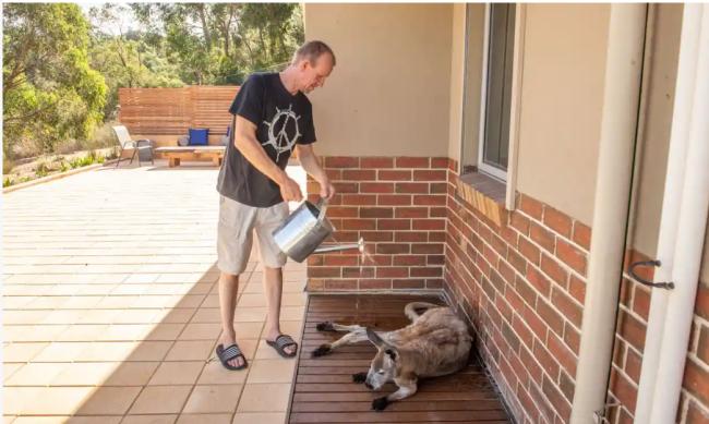 暑さのため人家の軒下に逃げ込んだ野生のカンガルーに、水をかけてやる住民