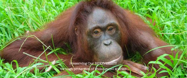 熱帯林地帯に生息するオランウータンの保全にも貢献
