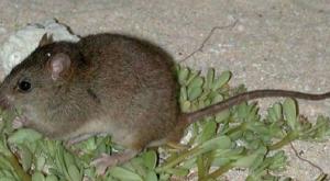 Australian rodenキャプチャ