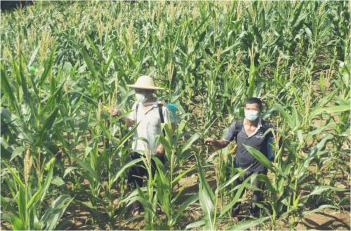 トウモロコシ畑も集中食害に