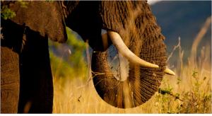 Elephant1キャプチャ