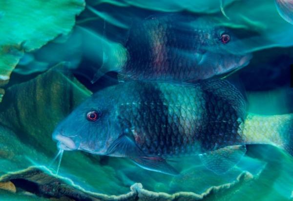 フタオビミナミヒメジ(Parupeneus insularis)のような魚が稚魚を育てるには保護地区が必要だ、と保全学者はいう。(PHOTOGRAPH BY BRIAN J. SKERRY, NATIONAL GEOGRAPHIC)