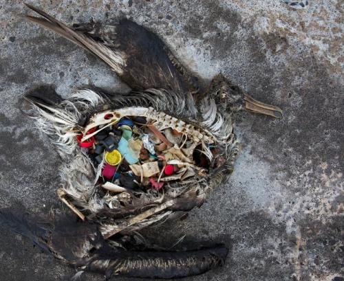 死んだアホウドリの胃袋からは大量のプラスチックゴミが・・・