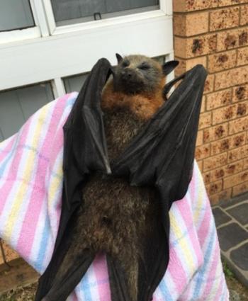 オーストラリア・シドニーで、記録的な熱波にさらされて衰弱したオオコウモリ
