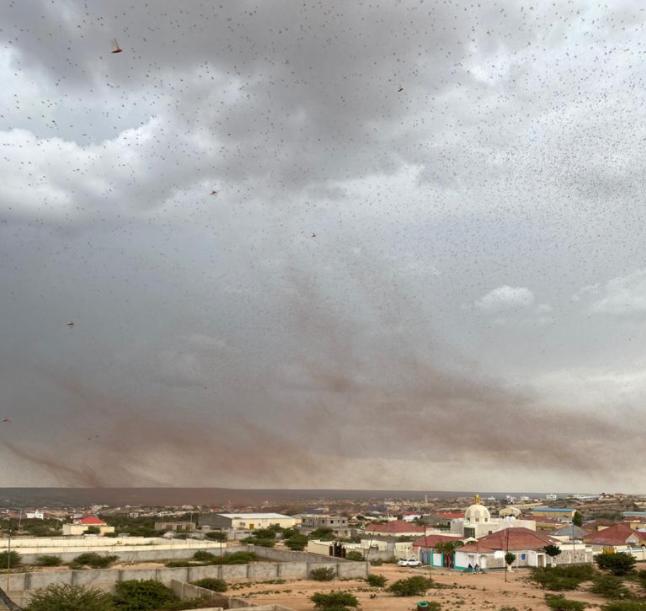 ソマリアの空にはまだ、バッタたちが我が物顔で飛び交っている(8月14日、FAO)