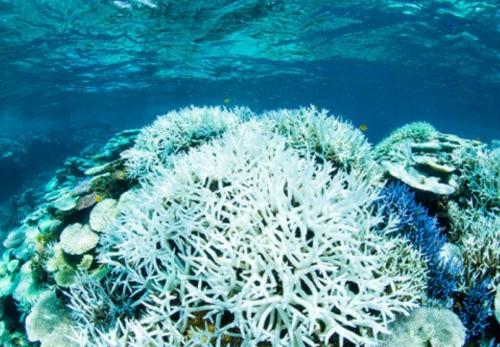 海温上昇で、各地で白化が進むサンゴ礁