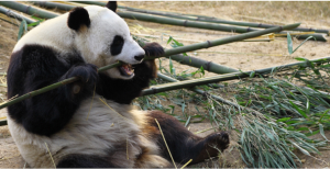 pandaキャプチャ