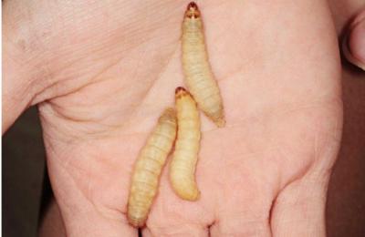 この幼虫が「プラスチック食い」です