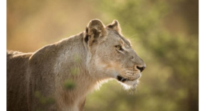 Lion1キャプチャ