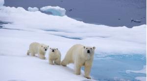 Polarnbear003キャプチャ