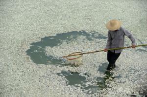 中国・湖北(Hubei)省武漢(Wuhan)を流れるFuhe川で、魚の死骸を回収する住民(…    中国・湖北(Hubei)省武漢(Wuhan)を流れるFuhe川で、魚の死骸を回収する住民(…   河北省武漢のFuhe川で死んだ魚を回収する住民