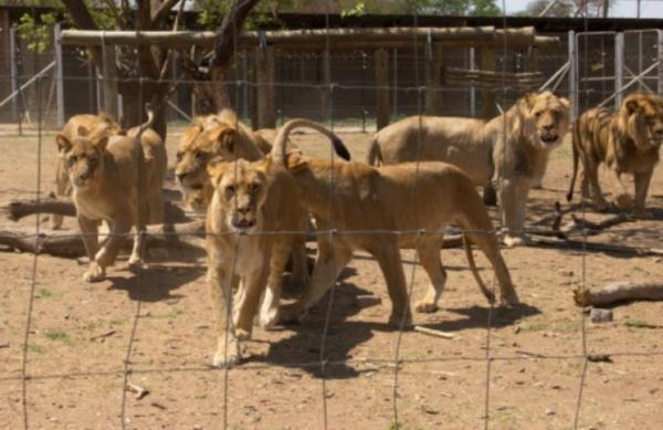 南アフリカ共和国にある詳細不明の繁殖施設で、囲いの中にいるライオン。同国では8000頭ものライオンが飼育下にある