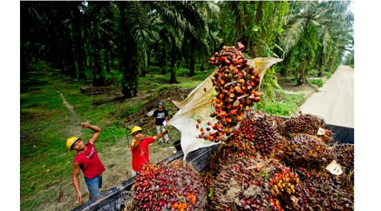 パーム油の元になるアブラヤシの実を収穫する