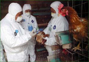鳥インフルエンザの検査を行う