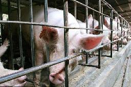 中国・福建省の養豚場。抗生物質の使用によって薬剤耐性菌が広まり、人の健康への懸念が生じている(米ミシガン州立大などの研究チーム提供)