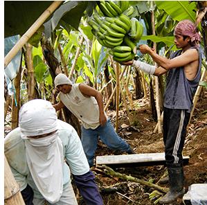 バナナの収穫の様子