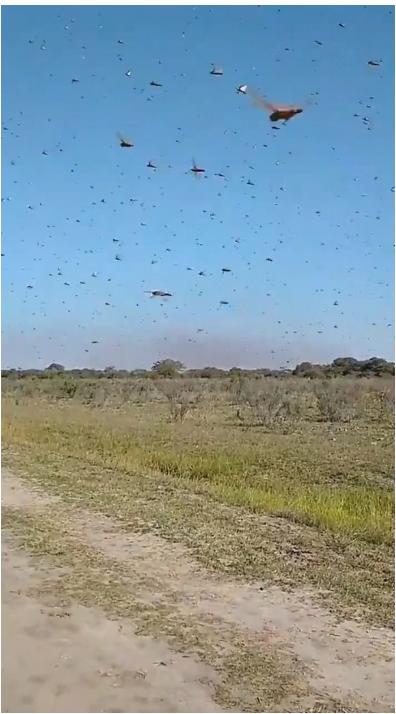 広大なアルゼンチンの農地を飛ぶバッタたち