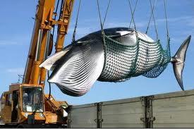 日本の調査捕鯨の模様