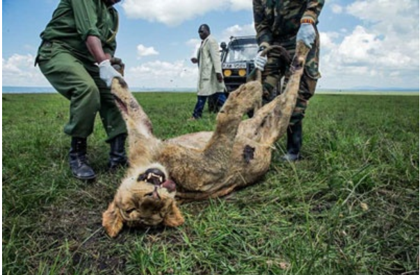 毒殺された若いライオン