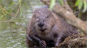 beaver1キャプチャ