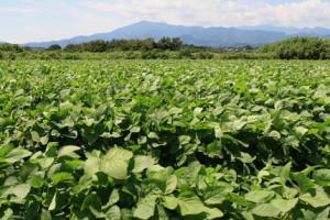 大豆の多くはみそや豆腐に加工される。原料の原産地が適正に表示されるかだが