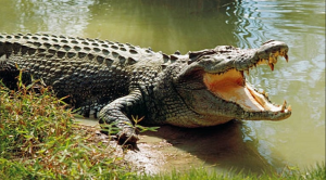 crocodile1ャプチャ