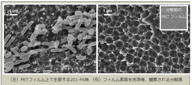 京都工芸繊維大などが発見した自然界でプラスチックを「食べる」細菌