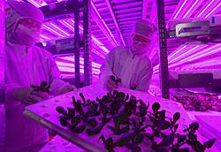 施設の本格稼働を始めた農産物栽培工場=26日、川内村