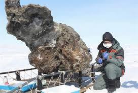 北極海(Arctic Ocean)の島で見つかった雌のマンモスの死骸を調べる研究者。北東連邦大学(Northeastern Federal University)提供(2013年5月13日撮影)。(c)AFP/NORTHEASTERN FEDERAL UNIVERSITY/SEMYON GRIGORYEV