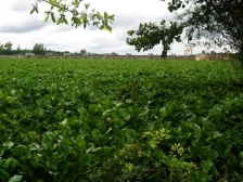 ホテイアオイで埋まったダム貯水池  (写真提供:現地市民グループ