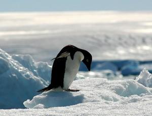 南極にたたずむペンギン、少しつらそう