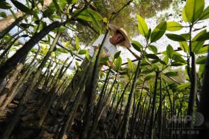 フィリピイン・ミンダナオ島で植林競争用の苗を調べる担当者