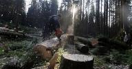 木を伐採する様子(11年7月27日、チェコ共和国・スマバ国立公園)