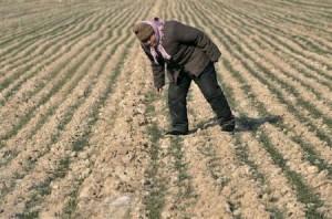2月8日、国連食糧農業機関は中国北部の穀倉地帯が干ばつに見舞われていることで、同国の小麦生産がリスクにさらされる恐れがあると警告した。写真は2011年1月30日、中国山東省の麦畑で