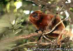 ゴールデンライオンタマリン。アマゾンの大西洋沿岸林にだけ生息する